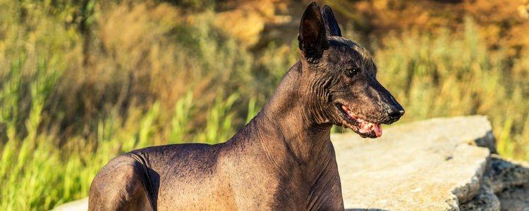 Xloloitzcuintli, también conocido como el perro sin pelo