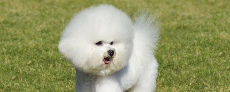A pesar de su pelaje esponjoso y blanco, el Bichón Frisé no pierde pelo