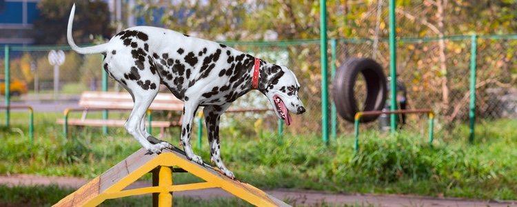 Antes de empezar el ejercicio el perro debe haber hecho sus necesdades