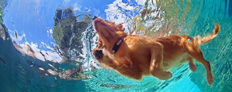 La natación es buena para los perros con problemas musculares