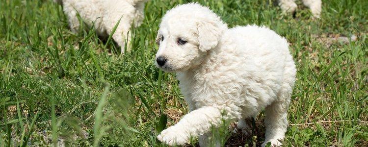 Los perros Kuvasz pueden trotar varios kilómetros sin cansarse