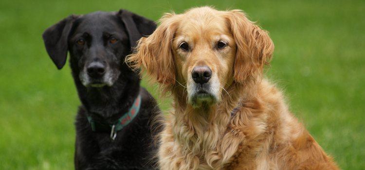 Los Labradores y los Golden son los tipos de Retriever más conocidos