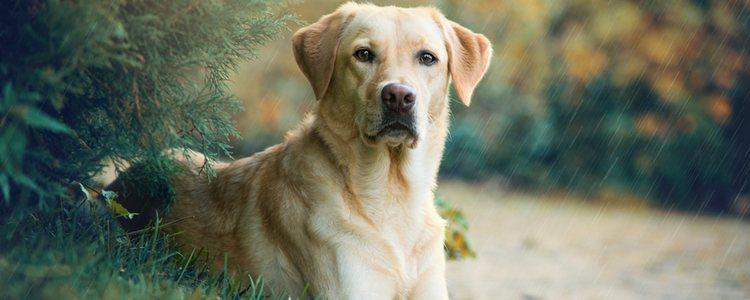 Los Labrador Retriever son perros que necesitan estar en compañía