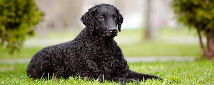 Los Curly Coated Retriever son perros muy activos y sociables