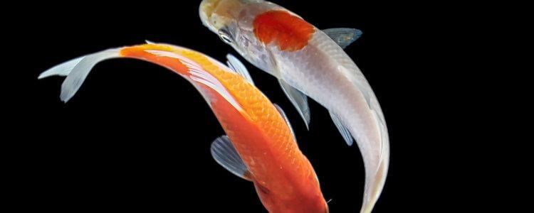 Los peces koi necesitan una limpieza casi constante