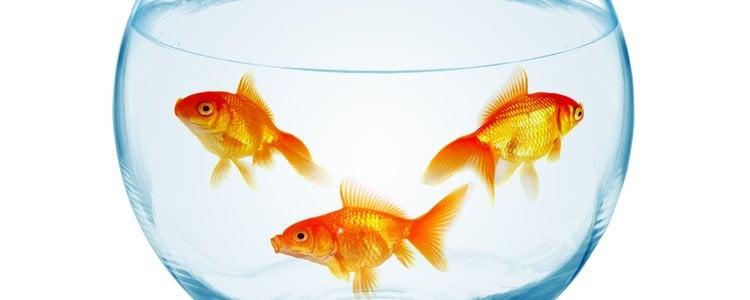 Los peces naranjas son los más habituales para tener como mascota