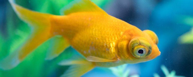Lo más característicos de los peces telescopio son sus ojos saltones