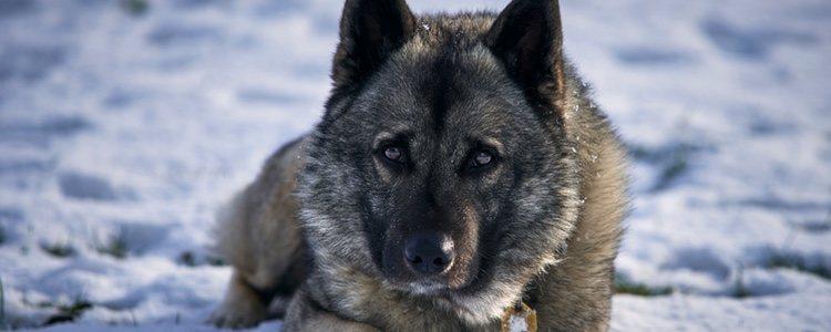 El elkhound noruego es una raza primitiva de la que se han encontrado restos arqueológicos