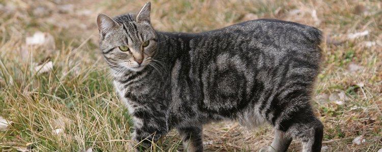 Hay leyendas que dicen que el Cymric proviene del Manx, una raza de gato doméstico