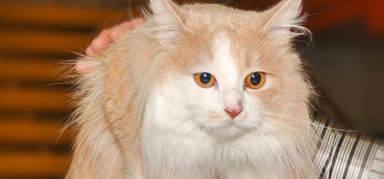 El pelaje de esta mascota es largo, denso, suave, brillante y actúa como una capa de almohadillado