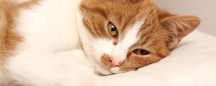 Casi todos los gatos, tarde o temprano, padecen infestaciones por varios tipos de gusanos