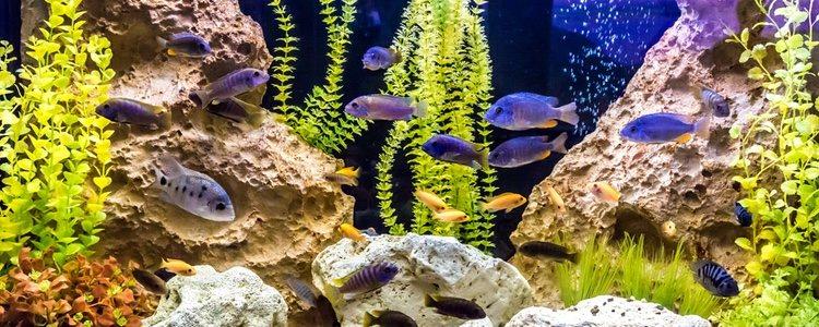 Lo normal es que un pez no pueda aguantar más tres días sin recibir ningún tipo de alimento