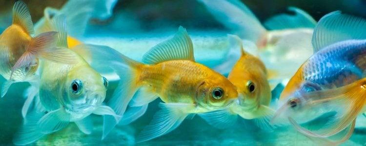 La falta de alimento peces puede provocar que se coman unos a otros para sobrevivir