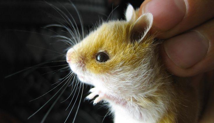 Los hamsters también pueden sufrir conjuntivitis en sus pequeños ojos
