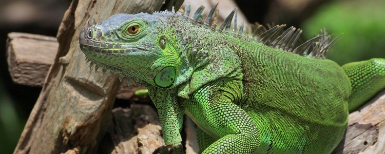 Las iguanas verdes son verdes durante toda su vida