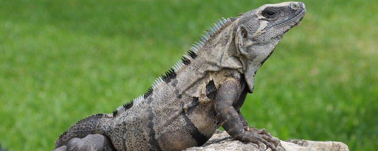 El crecimiento de la iguana negra es más lento que el de la iguana verde