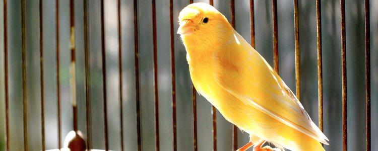 Las semillas de cáñamo son las favoritas de los canarios