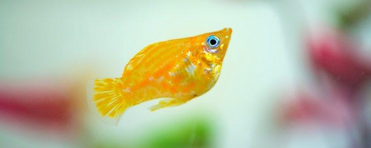 Es necesario tener un calefactor en tu acuario para peces tropicales