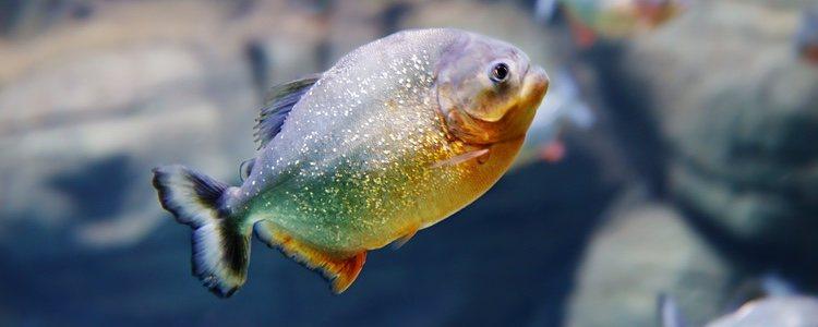 Las pirañas son carnívoras y no es buena idea mezclarlas con otros peces
