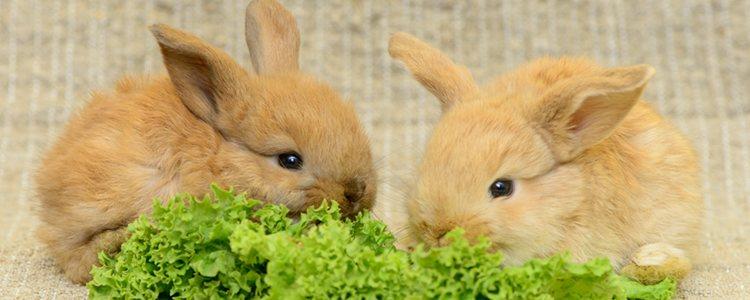 Evita dar lechuga y otros vegetales a los conejos durante los primeros meses