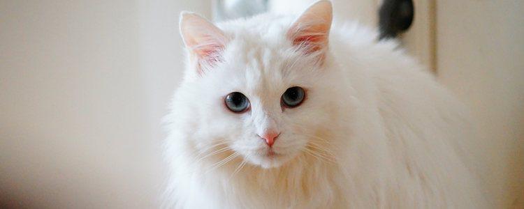 Los gatos de angora provienen de la Inglaterra de 1800