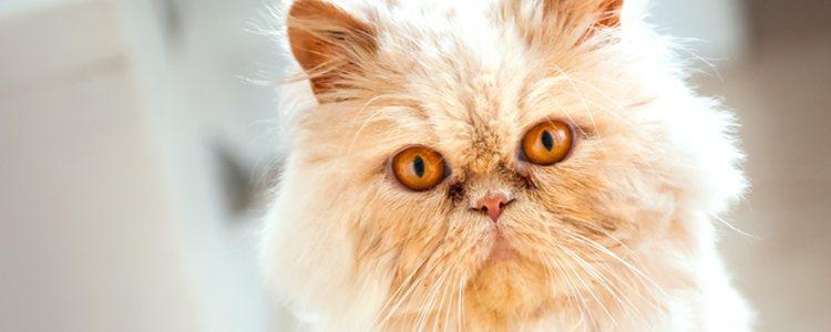 Los gatos persa son muy independientes y apenas buscan el contacto humano