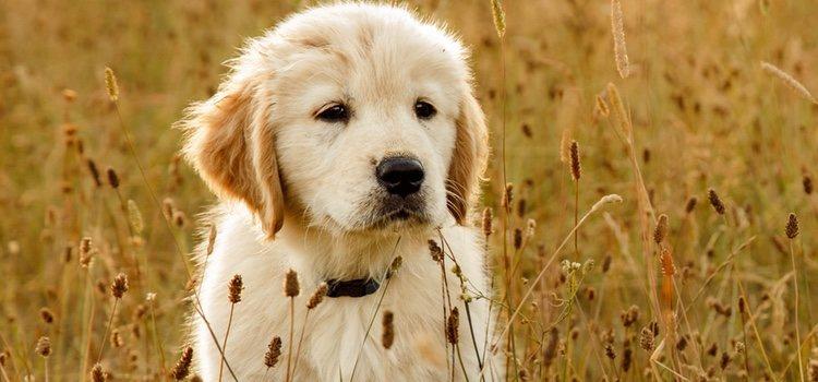 Los perros no reconocen a las personas a través de la vista