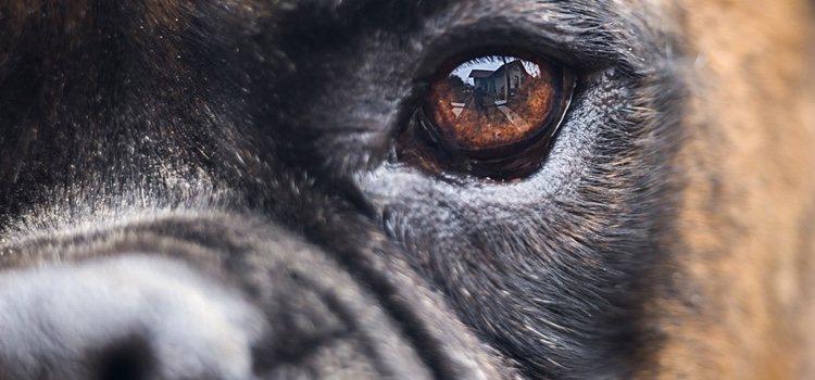 Los perros tienen una visión periférica superior a la de los humanos