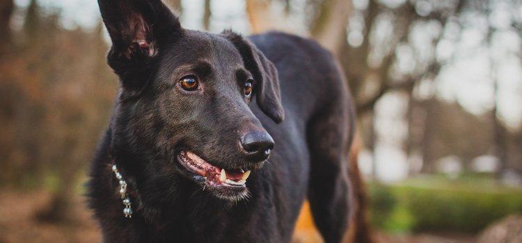 El oído de los perros es más sensible que el de los humanos