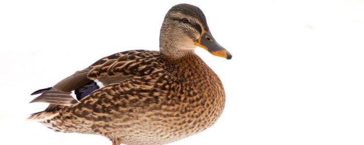 Tener un pato como mascota conlleva muchos mas cuidados