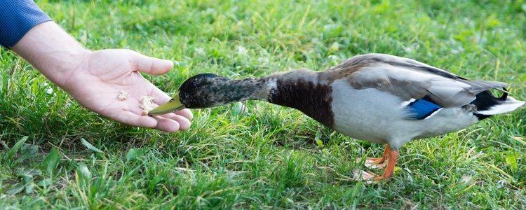 Dar de comer pan a un pato puede ser muy dañino para el animal