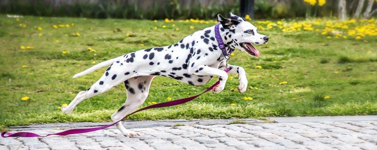 El vitíligo no supone ningún riesgo para la salud del perro y puede hacer una vida normal