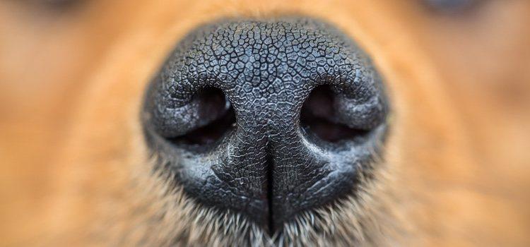 Los perros desarrollan su olfato con los paseos diarios