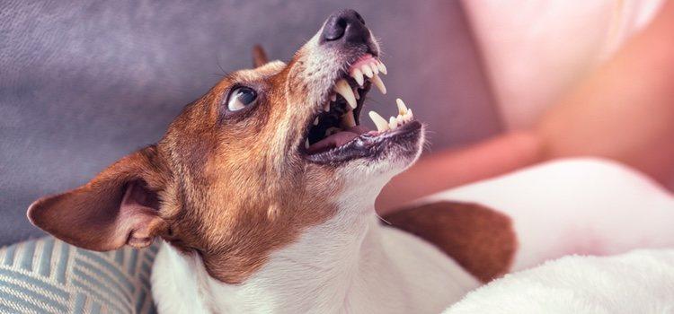 Hay ocasiones en las que el perro ha vivido una situación que le puede convertir en agresivo