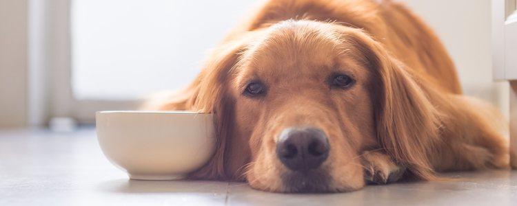 Los perros pueden empezar a experimentar letargo y apatía por la infección