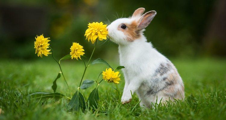Son muchos los aspectos que pueden cambiar en tu conejo cuando esté en celo