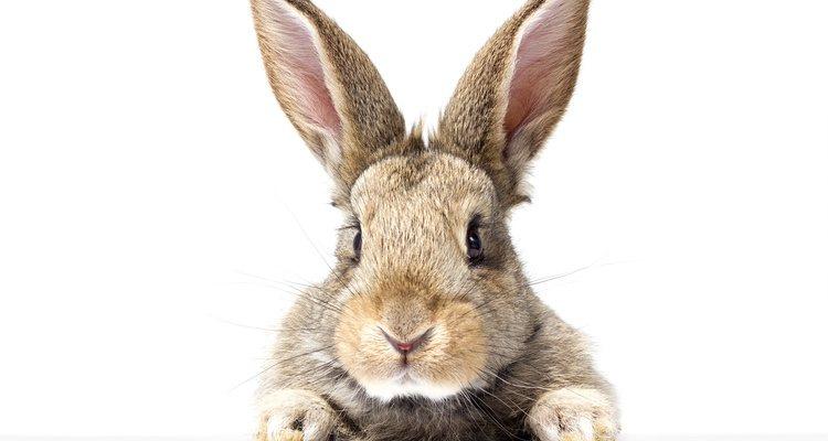Los conejos siempre están muy inquietos en época de celo