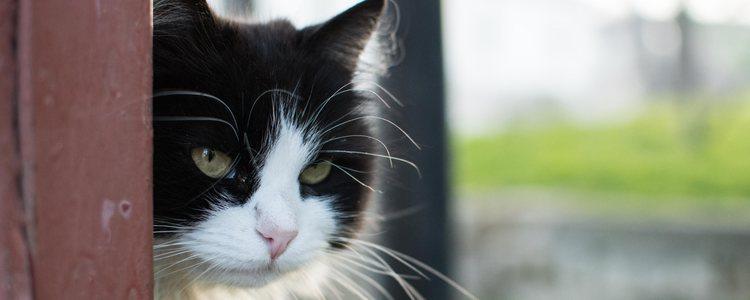 El oído y la vista son los sentidos más desarrollados en los gatos