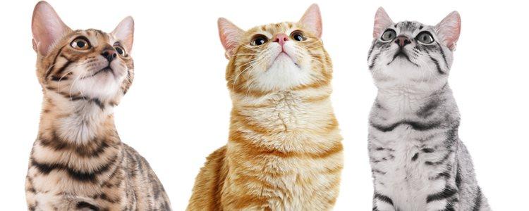 Los gatos tienen un oído musical que distingue cualquier tipo de sonido