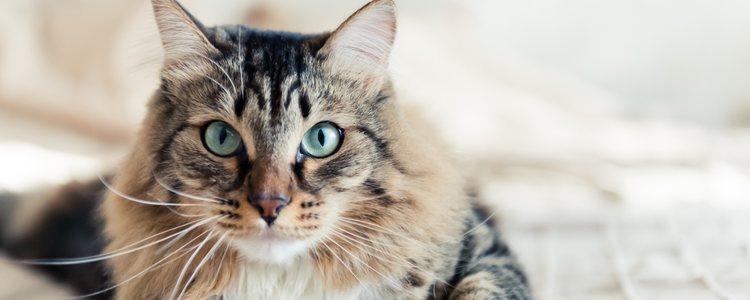 Los gatos no tienen un gran olfato pero los bigotes le ayudan a ubicarse