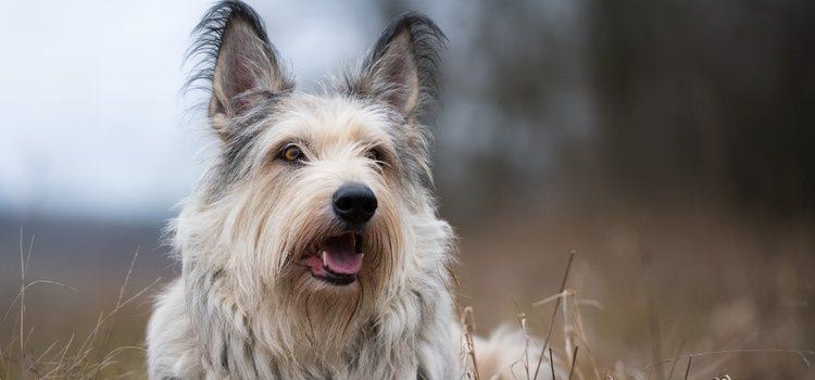 El pelo largo y grueso de esta raza de perro le da un aspecto desaliñado