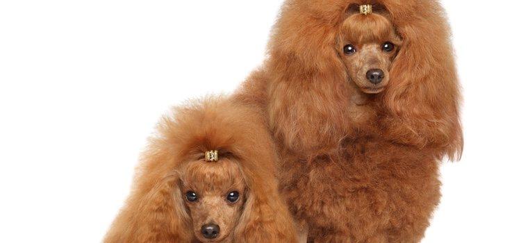 El pelo característico de esta raza hace posible que lleven looks muy variados y originales