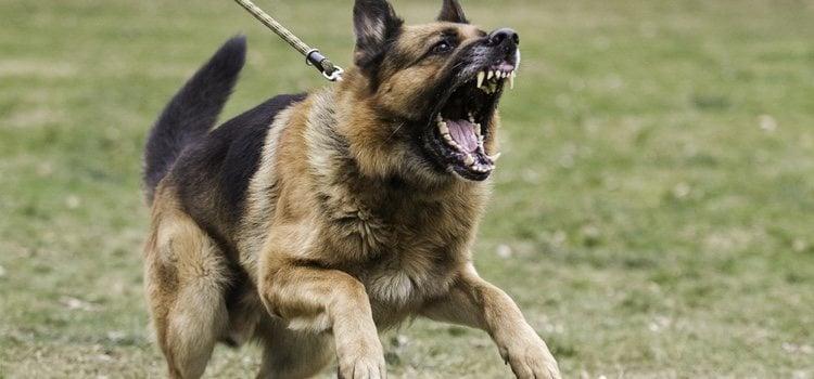 Presta atención si el perro esconde la cola, ladra o enseña los dientes
