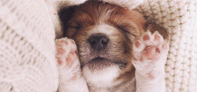 Es normal que los perros giman o muevan sus patas mientras sueñan