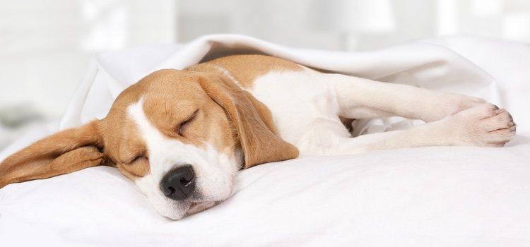 Se sabe que los perros son capaces de soñar gracias a los encefalogramas