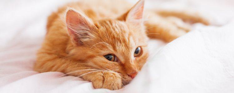 Si el gato a penas se mueve, se muestra apático o no come, pueden ser principios de un golpe de calor