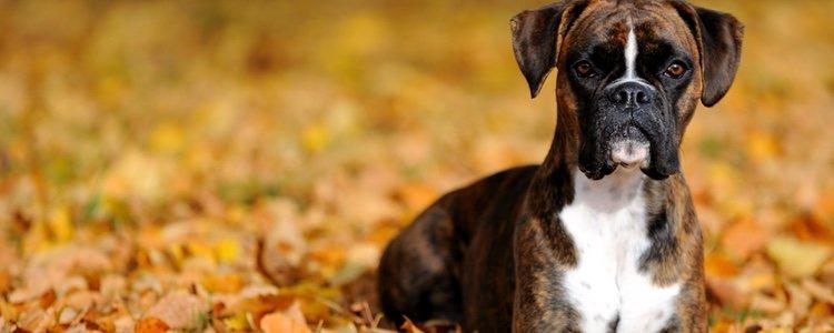 Los boxer son perros fuertes y deportistas
