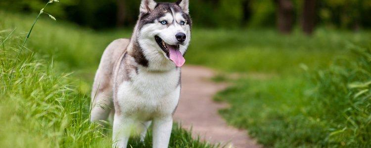 Los Huskies Siberianos son muy activos y sociables