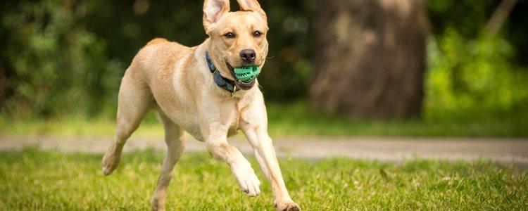 Los Labrador Retriever son muy ágiles y activos