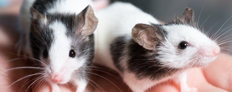 Los ratones tienen casi la mitad del tamaño de las ratas